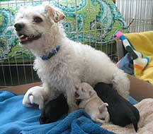 Photo of Poodle Mix Petunia and 4 puppies